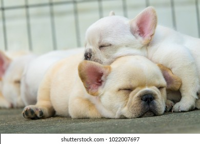 Cute little French bulldog sleeping together, close-up shot.