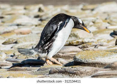Cute little gentoo penguin  close up