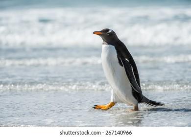 Cute little gentoo penguin neat the ocean water in Antarctica