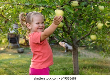 Cute little girl picking apples from the tree in the garden