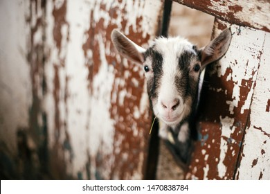 Cute little goat eating straw and looking from cage in old shelter. Little sheeps or goats at shelter in old barn. Adoption concept. Animals at farm