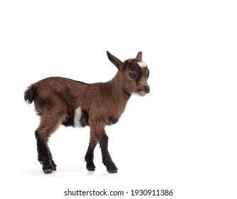 Cute little goat. Standing side ways. Isolated on white background.