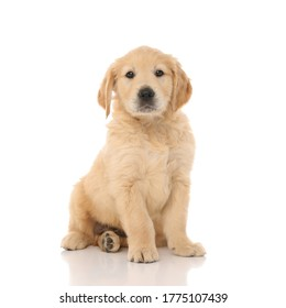 cute little golden retriever dog sitting and looking at the camera with little shiny eyes on white studio background