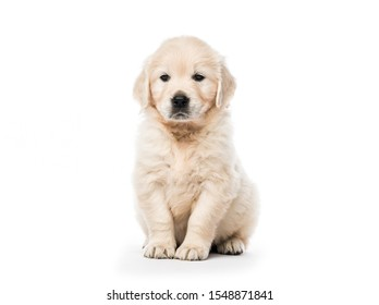 Cute little golden retriever puppy sitting isolated on white background