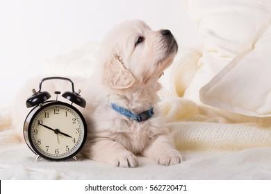 cute little golden retriever puppy with wind-up keywound alarm clock
