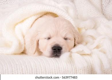 cute little golden retriever puppy sleeping in cozy woolen cream blanket