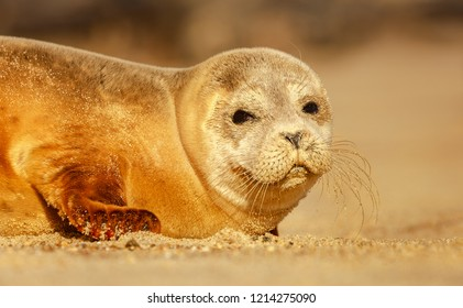 Cute little golden sandy coloured Common Seal Pup laying on the soft golden sands with sharp detail of its whiskers and eyes looking directly at the camera or viewer. Image has soft blurry background.