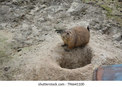 Cute little Gopher emerging from his hole