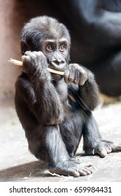 Cute little gorilla baby plays with a stick