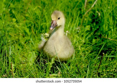 Cute little gosling