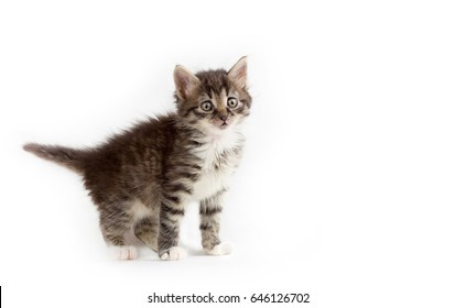 cute little grey fluffy kitten isolated on white background with space for text.