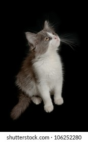 Cute little grey and white fluffy kitten on the black background