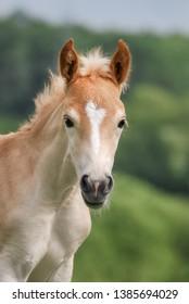 Cute little Haflinger horse foal, blond chestnut, standing alertly in a meadow, frontal head with a white blaze marking, portrait