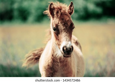 cute little haflinger horse foal 260nw
