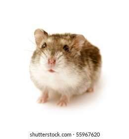 cute little hamster isolated on white