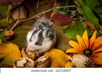 a cute little hamster - Mesocricetus auratus on natural background
