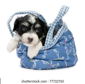 c2bdceb7964c A cute little havanese puppy dog in a mini basket isolated on white  background