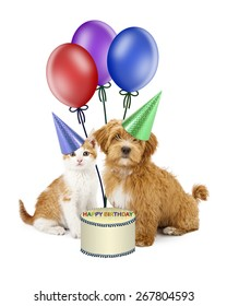 A cute little Havanese puppy and an orange tabby kitten wearing party hats sitting together next to a birthday cake and balloons
