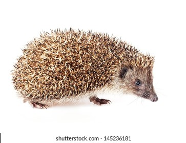Cute little hedgehog on a white background.