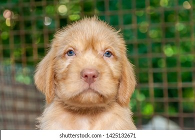 Cute little hungarian wire haired vizsla puppy close up