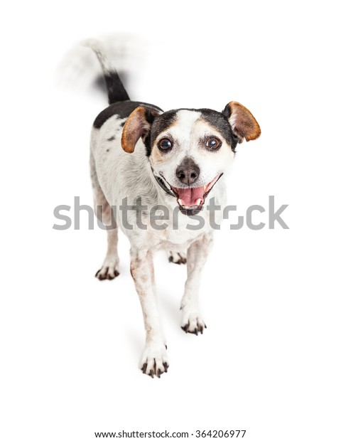 Cute little Jack Russell mixed breed dog with smiling happy expression and intentional motion blur on wagging tail