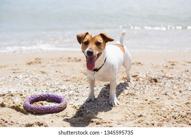 Cute little Jack Russell terrier playing with his favorite puller on seaside.Funny small dog plays with toy on beach