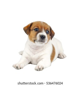 Cute Little Jack Russell Terrier Puppy Dog Isolated on White Background