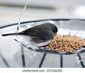 Cute little Junco eating birdseed from a silver platter.