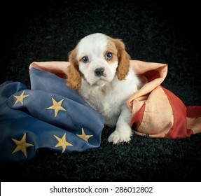 Cute little King Cavalier puppy sitting on a black background with an  America flag wrapped around him.