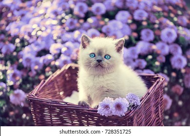 Cute little kitten in a basket in a garden near violet daisy flowers
