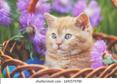 Cute little kitten with flowers outdoors. The kitten sits in a basket in a garden  in spring