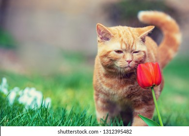 Cute little kitten sitting in the grass in a garden in spring. Cat sniffing tulip flower