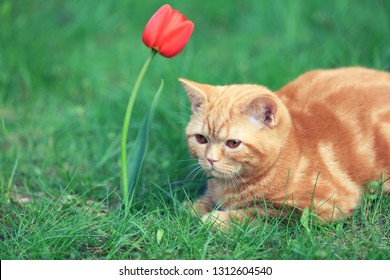 Cute little kitten sitting in the grass in a garden in spring near tulip flower