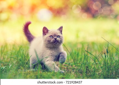 Cute little kitten walking outdoor in the grass