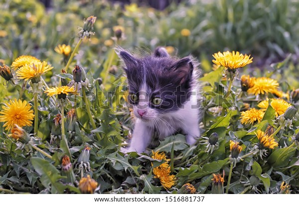 A cute little kitten in yellow dandelions. Warm summer country scene in bright shades of flowering plants, with pet.