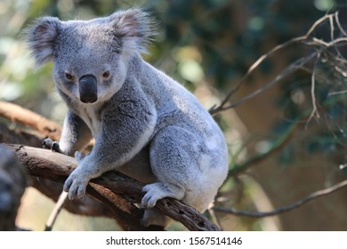 Cute Little Koala On A Tree Seen In Australia