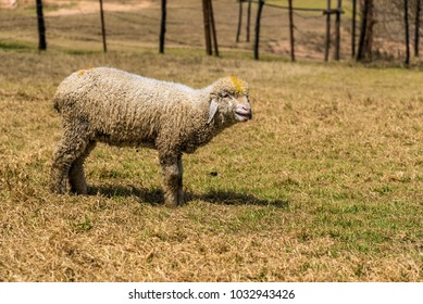 Cute little lamb calling for its mother during grazing.