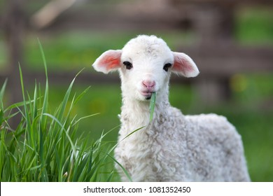 cute little lamb grazing