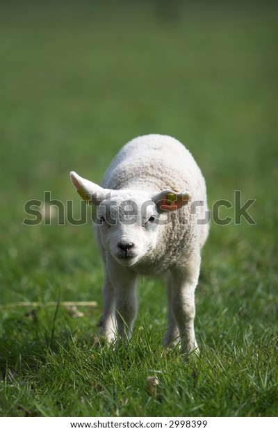 Cute little lamb looking curiously standing all alone in the meadow