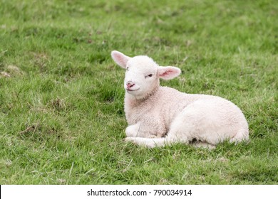 A cute little lamb is lying in a grass field in the english Lake District. The grass provides a green background.
