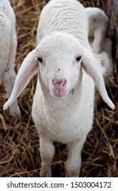A cute little lamb on grass.
