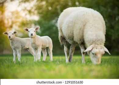 cute little lambs with sheep on fresh green meadow during sunrise