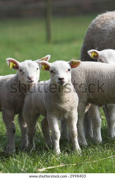 Cute little lambs standing together in the meadow