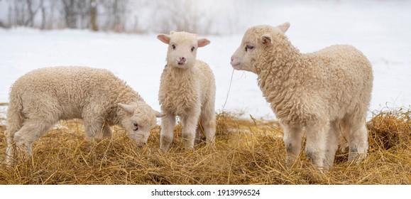 cute little lambs in winter