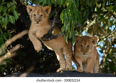 CUTE LITTLE LION CUBS !