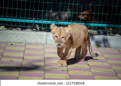 Cute Little lion kitten at the zoo. Playful cub with small teeth and claws. An animal outside the wild.