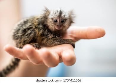 cute little marmoset monkey sitting on man hand