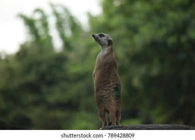 cute little meerkat