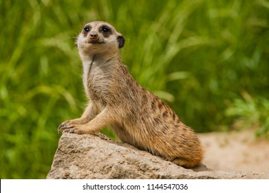 cute little Meerkat, Suricata suricatta, sitting on a rock and looking in its Meerkat-style, isolated against background