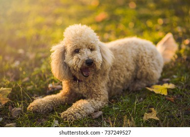 Cute little miniature poodle, cream white color, enjoying the day out in the park, lit by golden sunset light